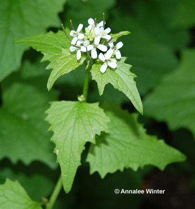 Identifying plants and weeds ontario style down the garden path garlic mustard mightylinksfo
