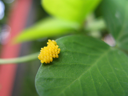 Identifying garden pests and bugs in ontario down the - Identifying insect eggs in the garden ...